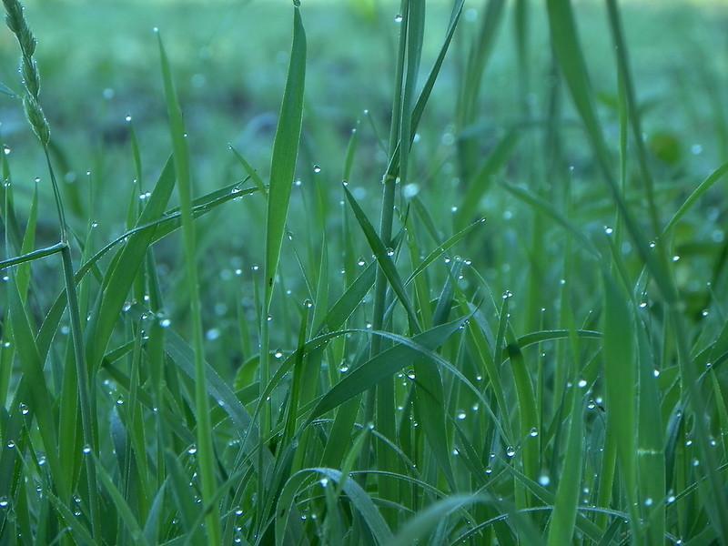 erba con rugiada