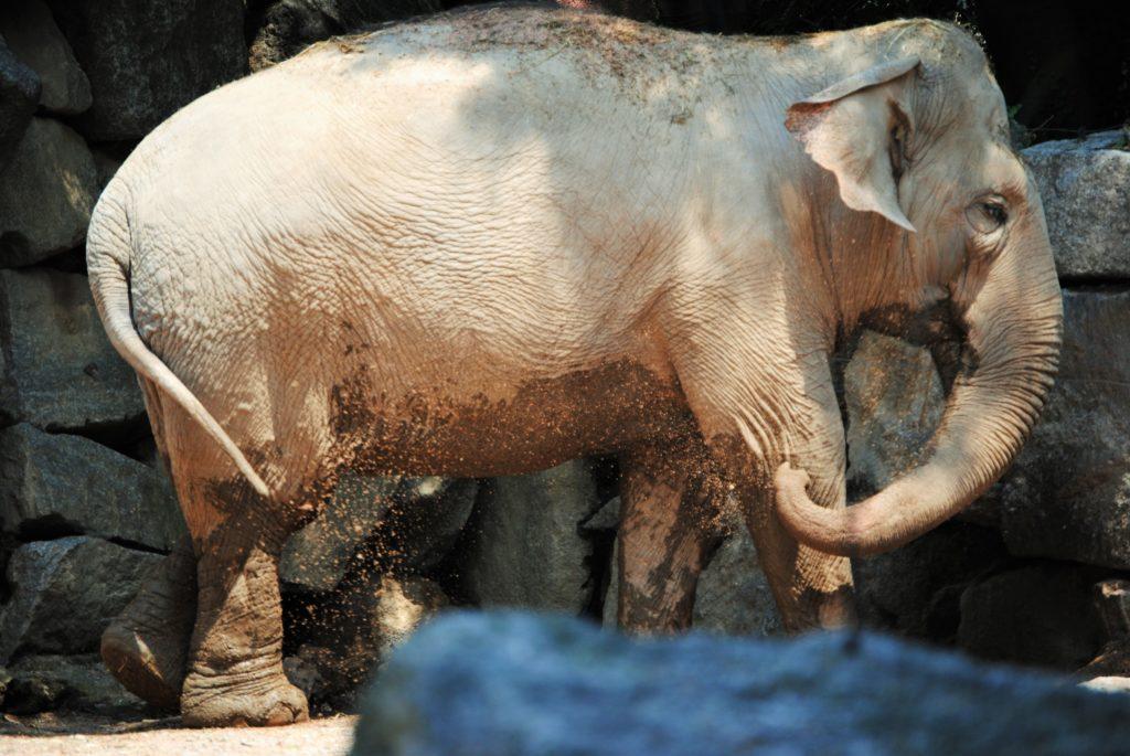 Uno degli elefanti del parco le Cornelle